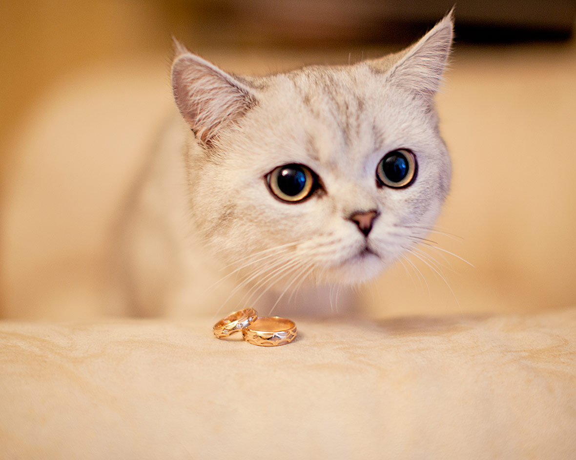 Кот и свадебные кольца